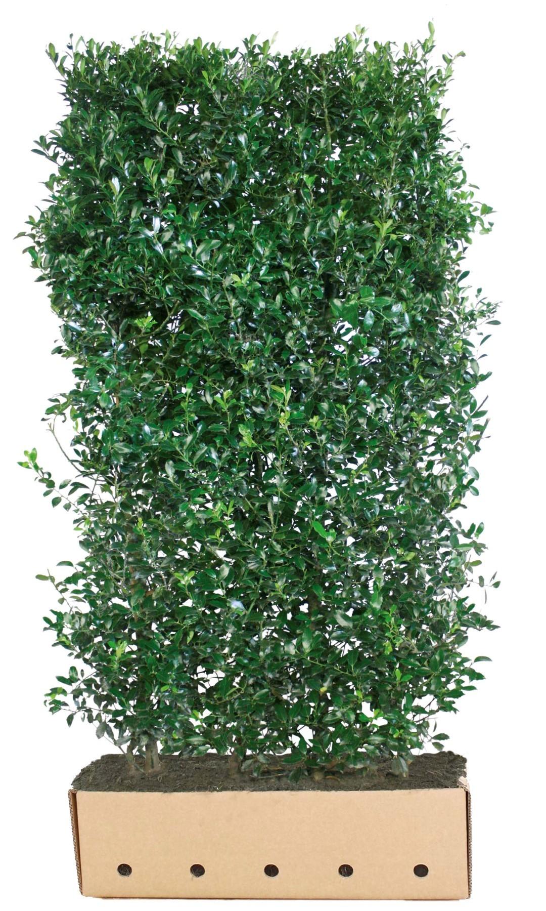 Kant & klaar haag Ilex aquifolium Siberia Limsi 200 x 100 cm breed