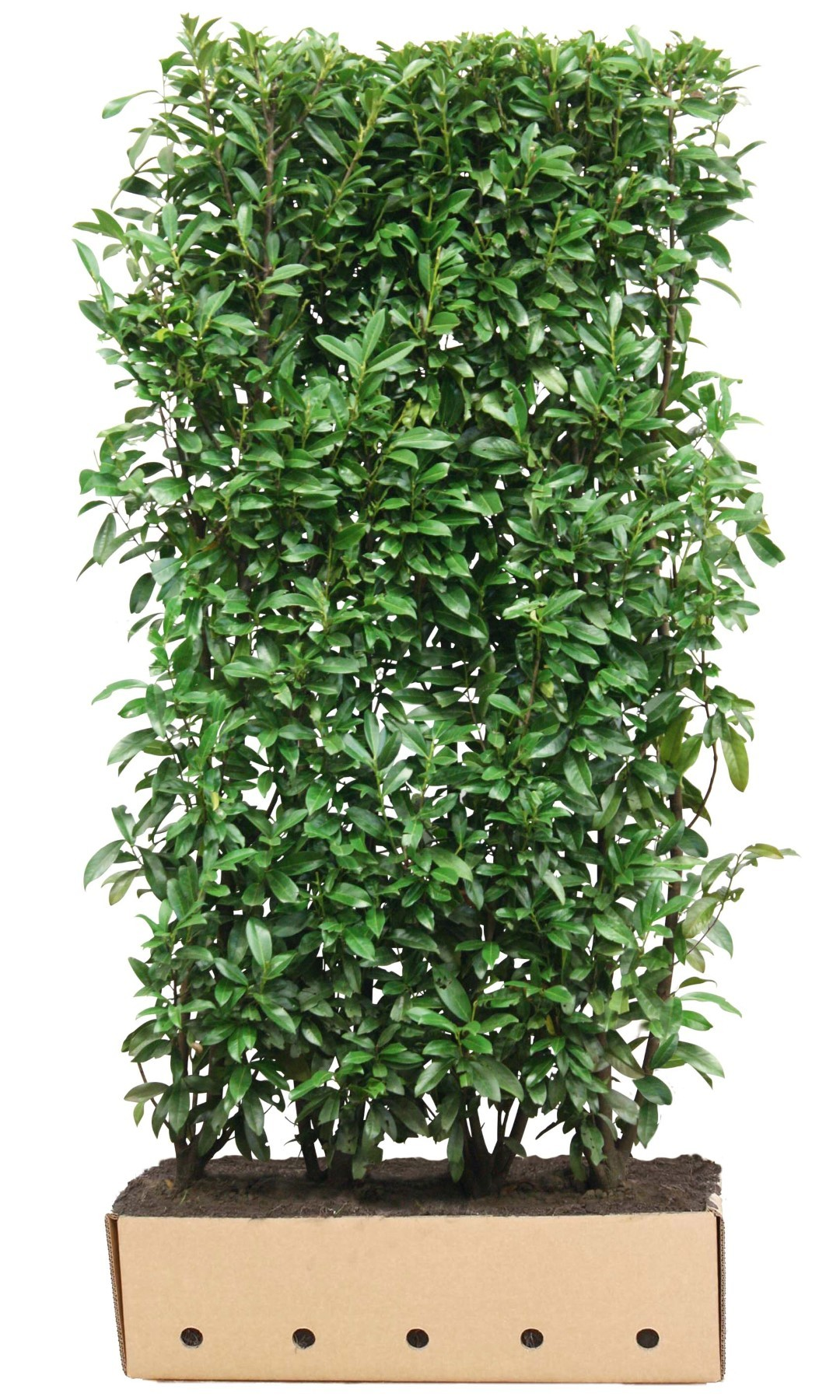Kant & klaar haag Prunus laurocerasus caucasica 200 x 100 cm breed