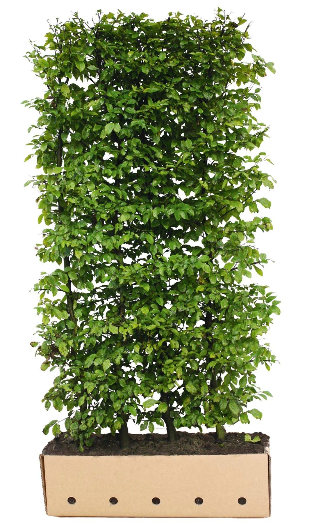 Carpinus betulus 120 cm.