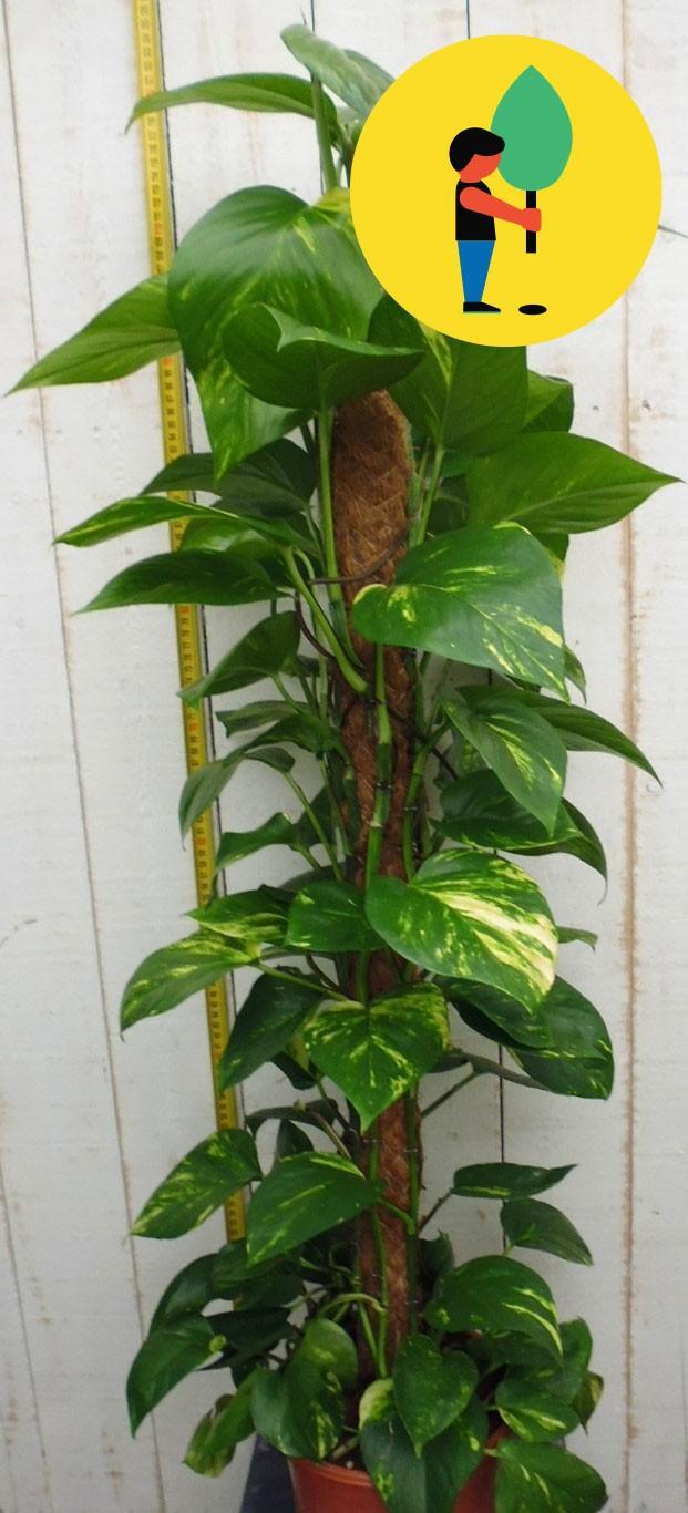 Kamerplant Epipremnum 100 cm Urban Street Forest