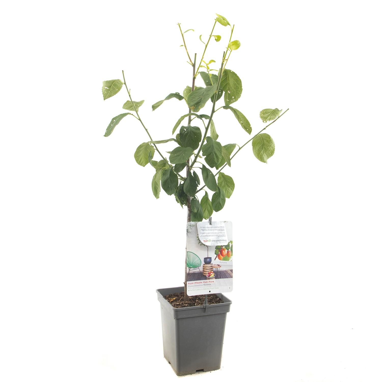 Prunus dom. Victoria Patio