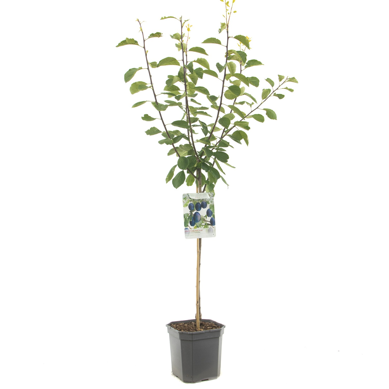 Prunus dom. Stanley laagstam