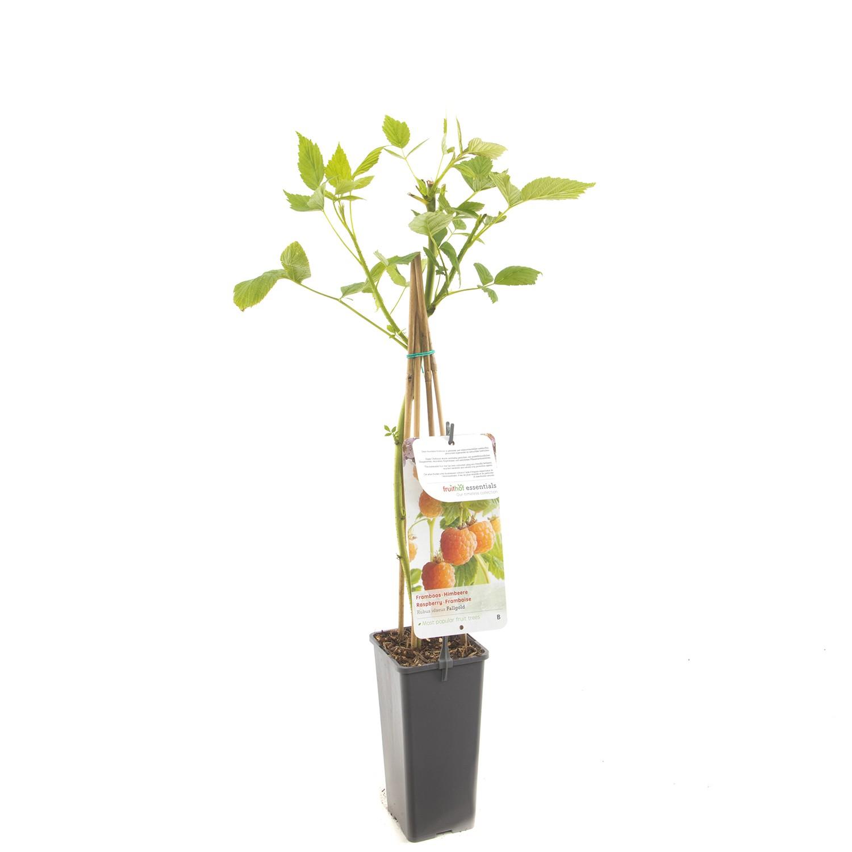 Rubus idaeus Fallgold