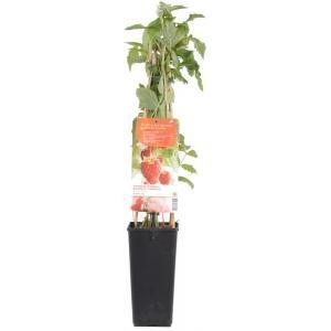 Rubus Idaeus Himbotop