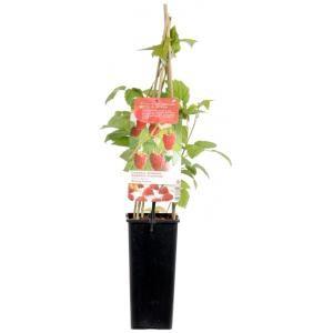 Rubus Ideaus Malling Promise
