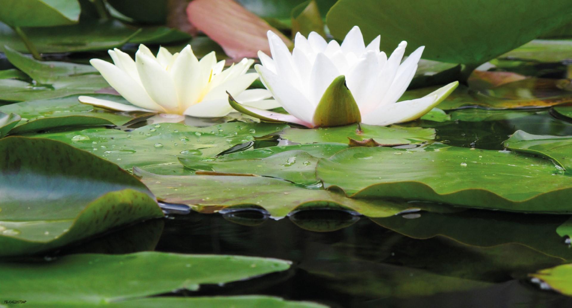 Tuinschilderij Waterlelie 50x70 cm
