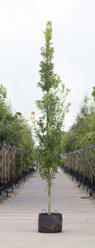 Zuil eik Quercus robur Fastigiate Koster h 350 cm st. omtrek 12 cm st. h 30 cm