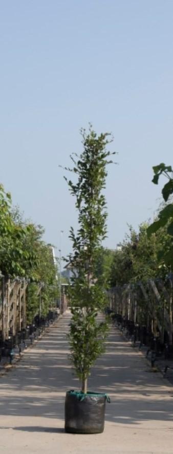 Groene zuilbeuk Fagus sylvatica Dawyck h 350 cm st. omtrek 12 cm st. h 30 cm
