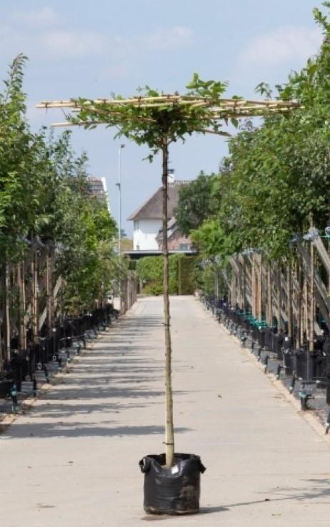 Haagbeuk vierkant dak Carpinus betulus h 190 cm st. omtrek 10 cm st. h 180 cm