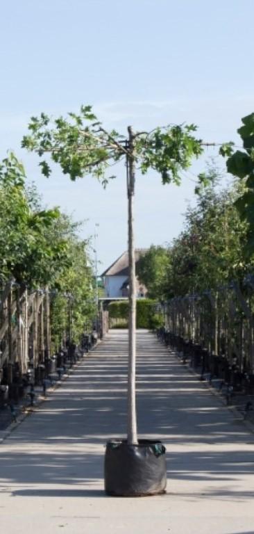 Moeraseik kruisdak Quercus palustris h 230 cm st. omtrek 16 cm st. h 220 cm