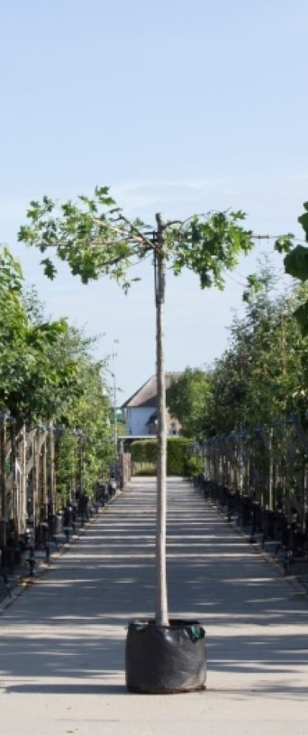 Moeraseik kruisdak Quercus palustris h 250 cm st. omtrek 18 cm st. h 240 cm