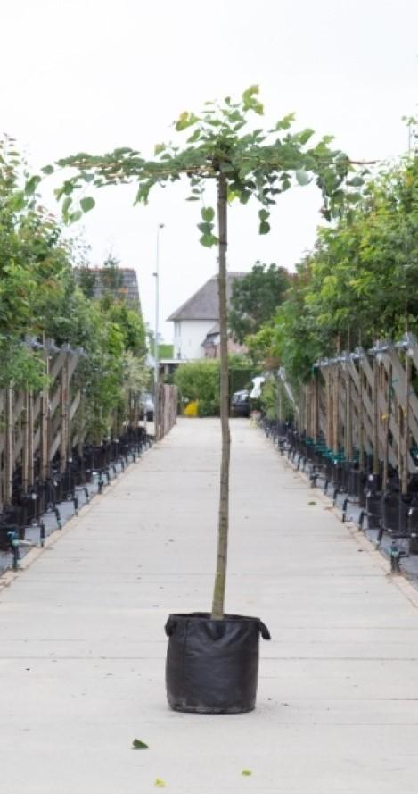 Linde Kruisdak Tilia cor. Greenspire h 250 cm st. omtrek 16 cm st. h 240 cm