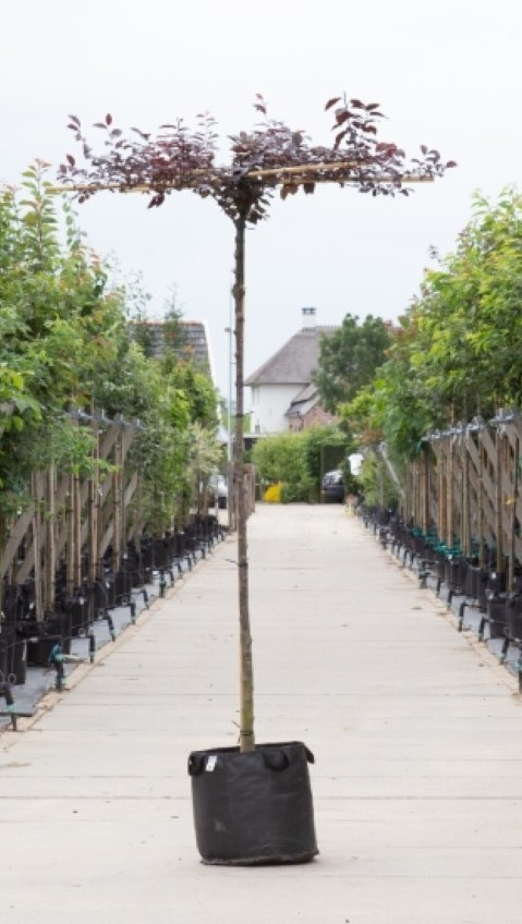 Rode sierpruim kruisdak Prunus cer. Nigra h 190 cm st. omtrek 10 cm st. h 180 cm