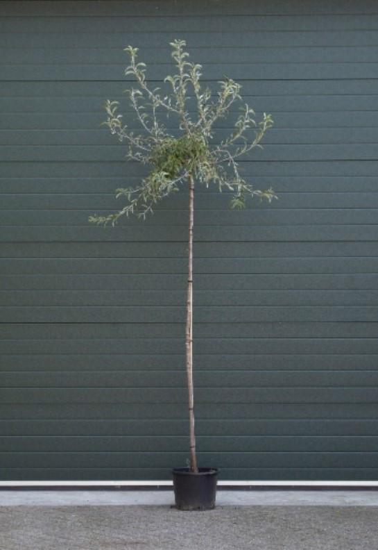 Wilgbladige treur sierpeer laagstam Pyrus salicifolia Pendula h 250 cm st. omtrek 8 cm