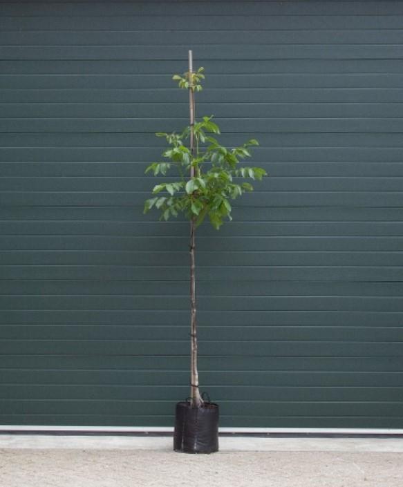 Walnotenboom Broadview Juglans r. Broadview h 275 cm st. omtrek 7 cm