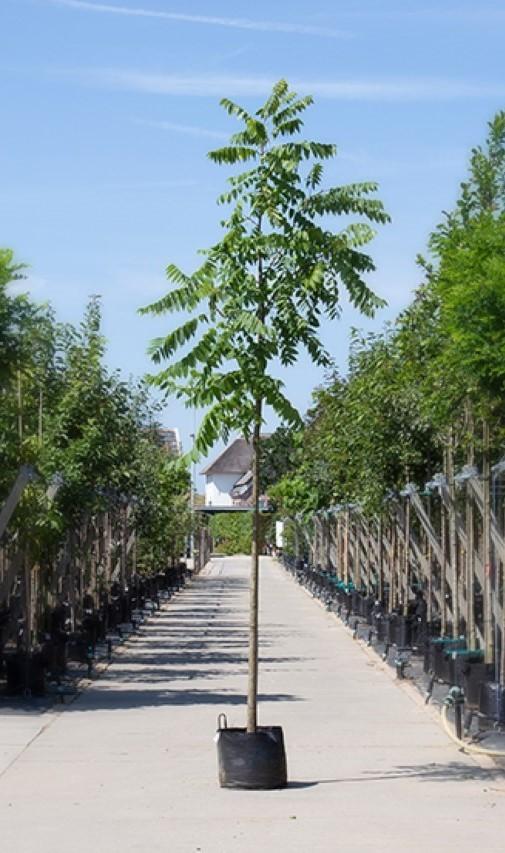 Zwarte walnotenboom Juglans nigra h 350 cm st. omtrek 12 cm