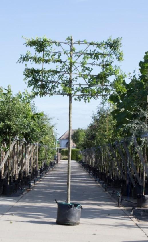 Zuil haagbeuk als leiboom Carpinus betulus Fastigiata h 360 cm st. omtrek 18 cm st. h 240 cm