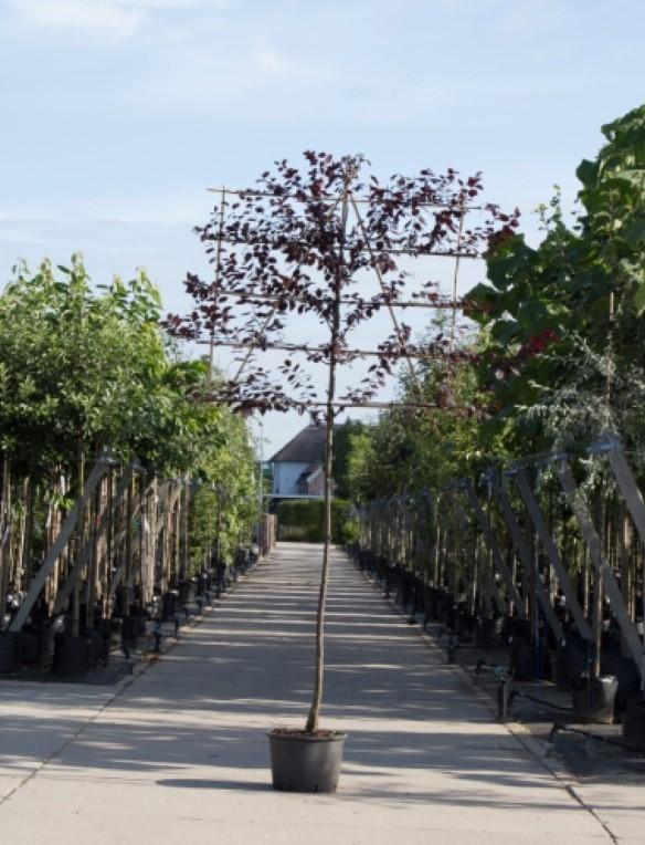 Sierpruim als leiboom Prunus cerasifera Nigra h 300 cm st. omtrek 12 cm st. h 180 cm