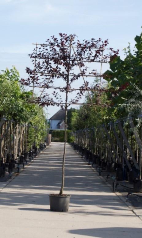 Sierpruim als leiboom Prunus cerasifera Nigra h 340 cm st. omtrek 16 cm st. h 220 cm