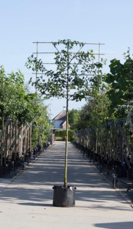 Sierpeer als leiboom Pyrus call. Chanticleer h 360 cm st. omtrek 18 cm st. h 240 cm
