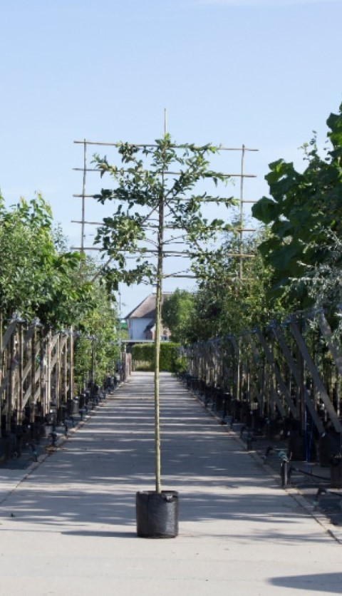 Sierappel als leiboom Malus Red sentinel h 320 cm st. omtrek 12 cm st. h 200 cm
