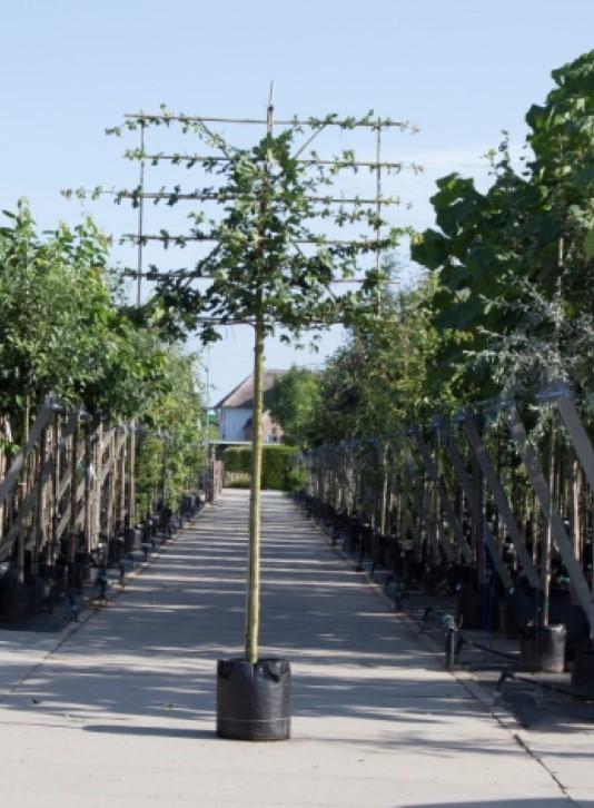 Spaanse aak als leiboom Acer campestre h 340 cm st. omtrek 16 cm st. h 220 cm