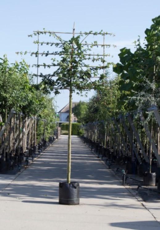 Spaanse aak als leiboom Acer campestre h 360 cm st. omtrek 18 cm st. h 240 cm
