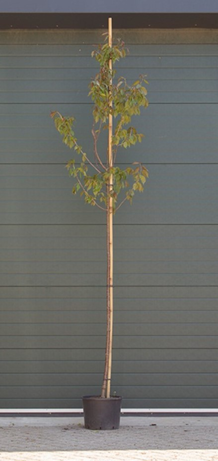 Japanse sierkers Sargentti Prunus sargentii h 250 cm st. omtrek 8 cm