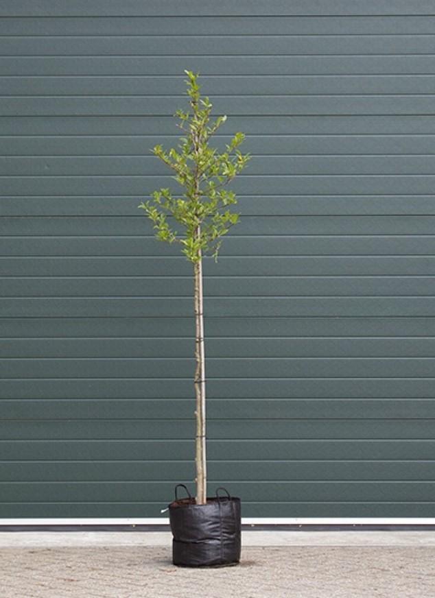 Stermagnolia Magnolia Stellata h 225 cm st. omtrek 7 cm st. h 150 cm