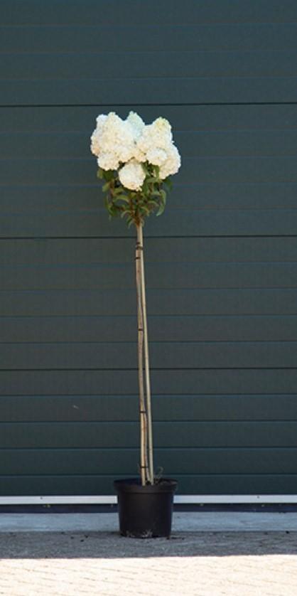 Hortensia Vanille Fraise halfstam Hydrangea pan. Vanille Fraise h 125 cm st. h 90 cm
