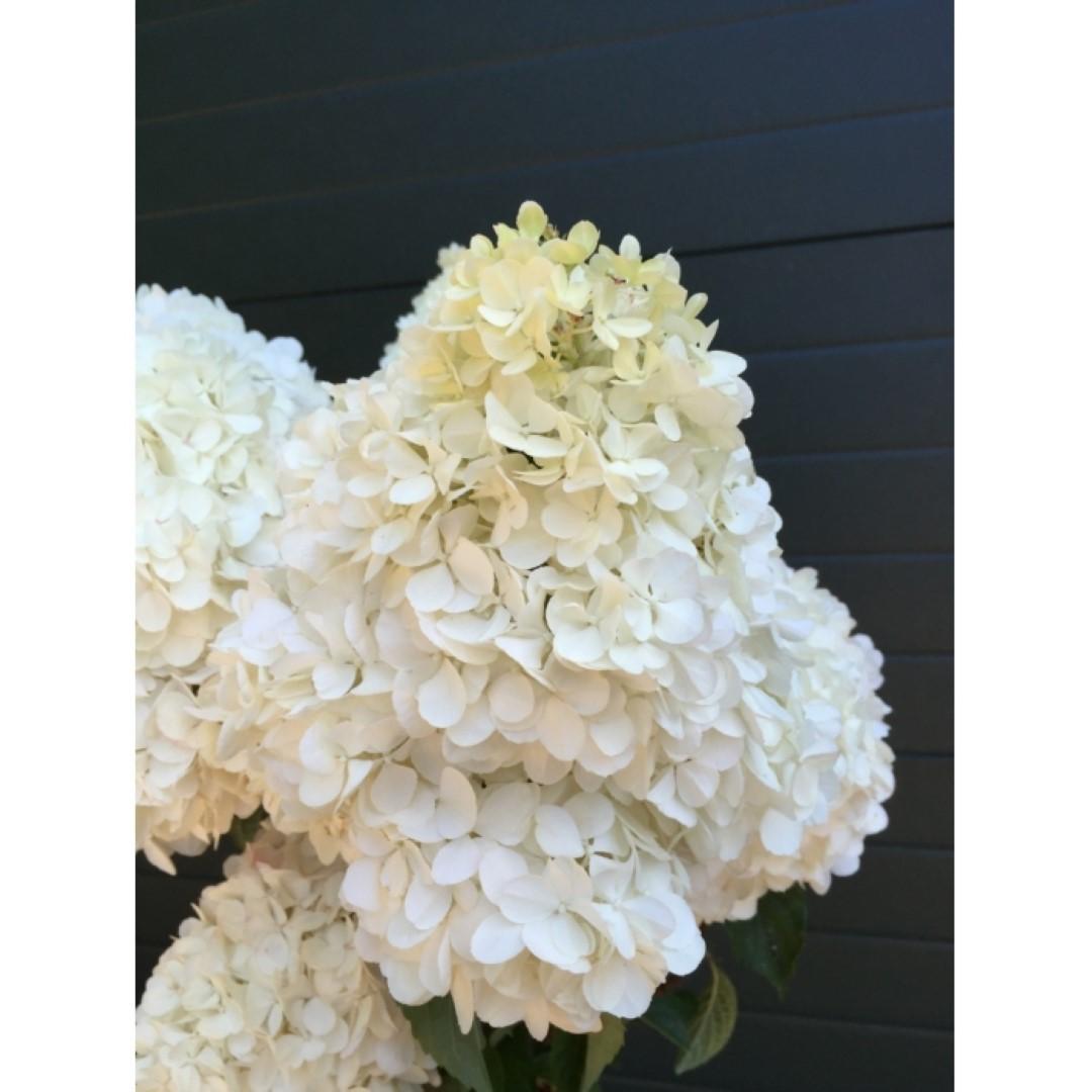 Hortensia Lime light halfstam Hydrangea pan. Limelight h 125 cm st. h 90 cm