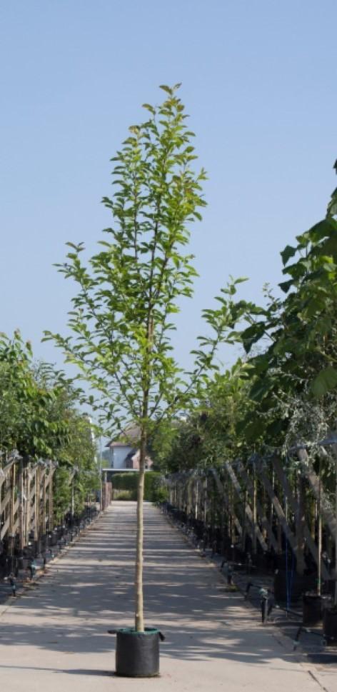 Beverboom Magnolia kobus h 250 cm st. omtrek 8 cm
