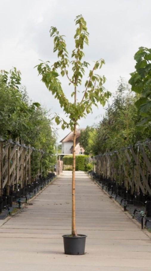 Sierkers met goudgele stam Prunus maackii Amber beauty h 250 cm st. omtrek 8 cm