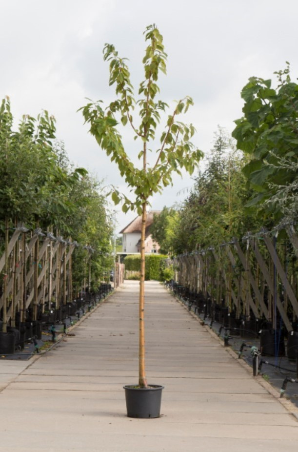 Sierkers met goudgele stam Prunus maackii Amber beauty h 350 cm st. omtrek 12 cm