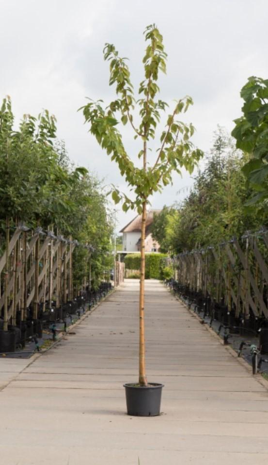 Sierkers met goudgele stam Prunus maackii Amber beauty h 450 cm st. omtrek 16 cm