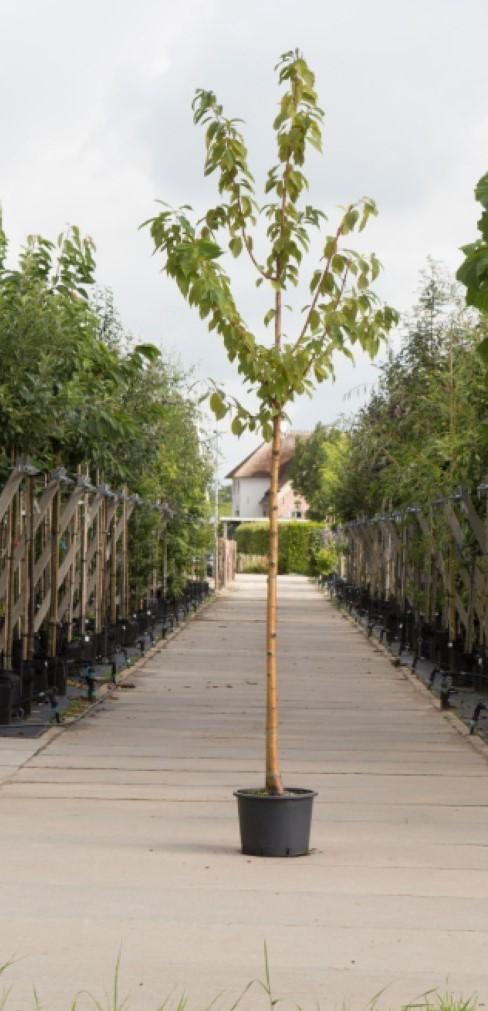 Sierkers met goudgele stam Prunus maackii Amber beauty h 550 cm st. omtrek 19 cm