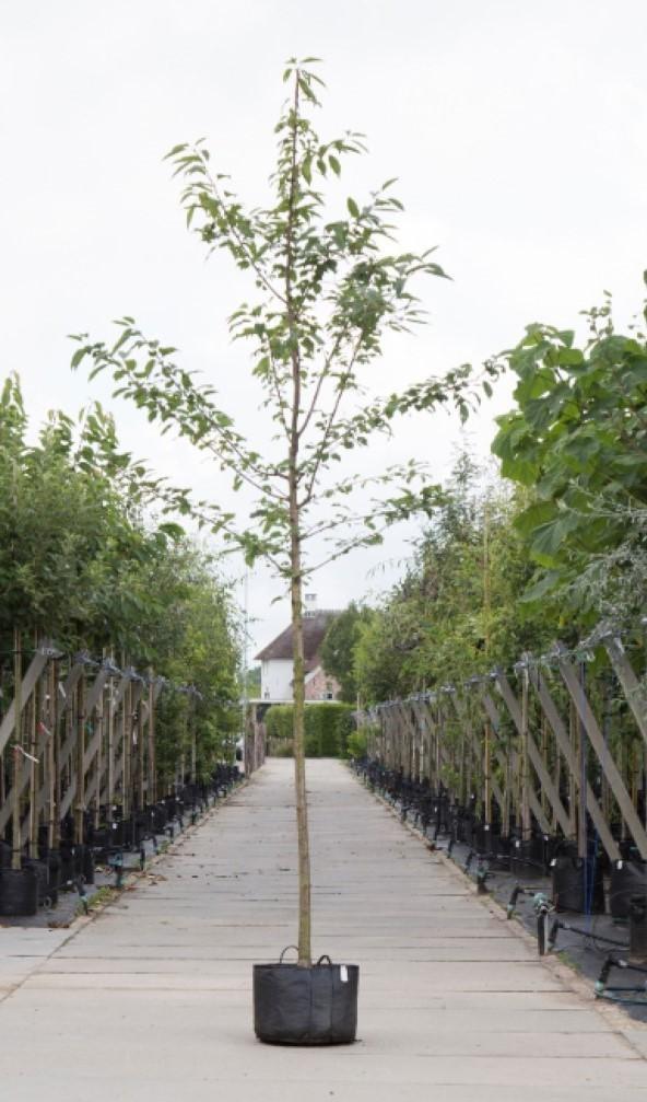 Dubbelbloemige sierkers Prunus a. Plena h 250 cm st. omtrek 8 cm