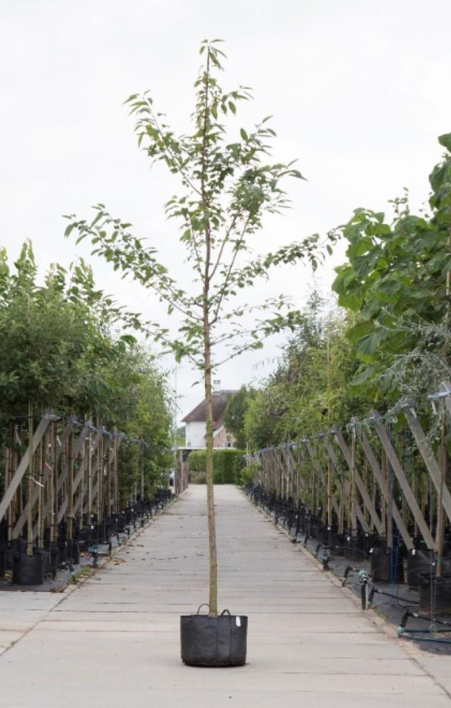 Dubbelbloemige sierkers Prunus a. Plena h 350 cm st. omtrek 12 cm