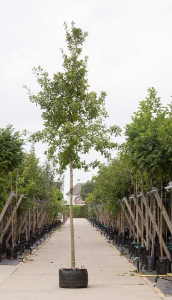 Zomereik Quercus robur h 575 cm st. omtrek 22,5 cm