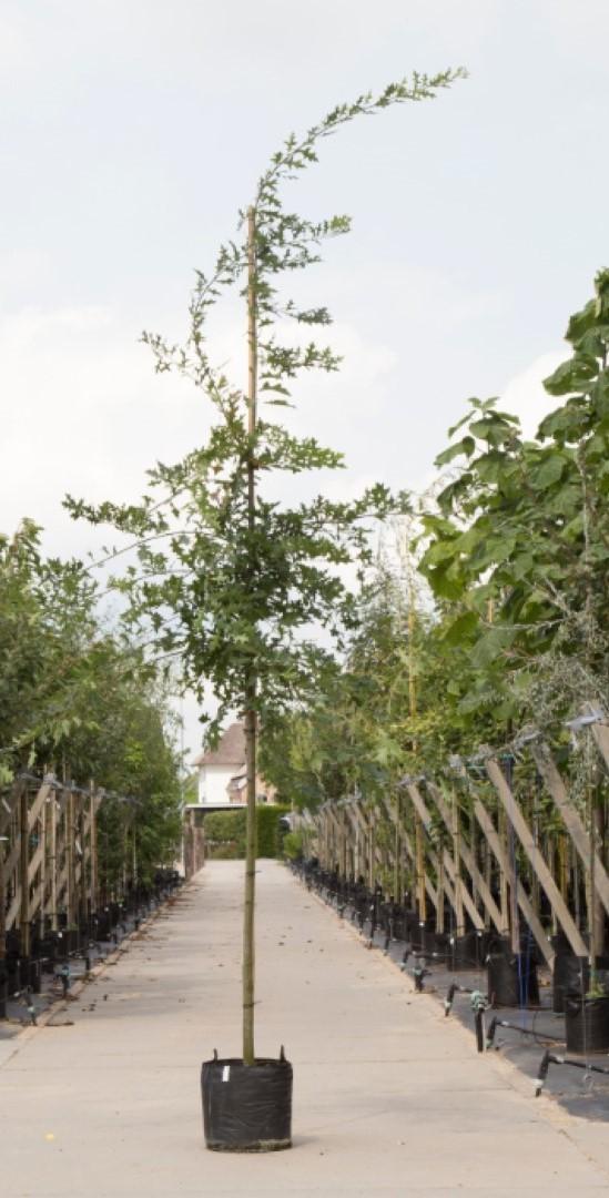 Moeraseik Quercus Palustris h 550 cm st. omtrek 19 cm