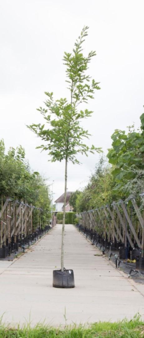 Amerikaanse eik Quercus rubra h 350 cm st. omtrek 12 cm