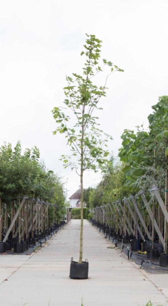 Noorse esdoorn Acer pl. Emmerald Queen h 250 cm st. omtrek 8 cm