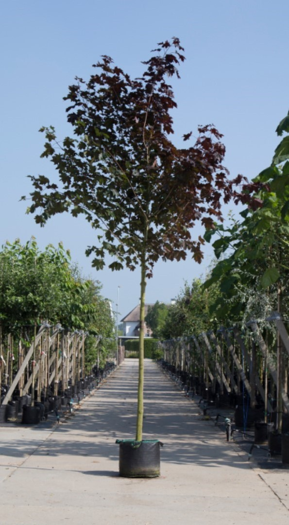 Roodbladige Noorse esdoorn Acer pl. Royal Red h 450 cm st. omtrek 16 cm