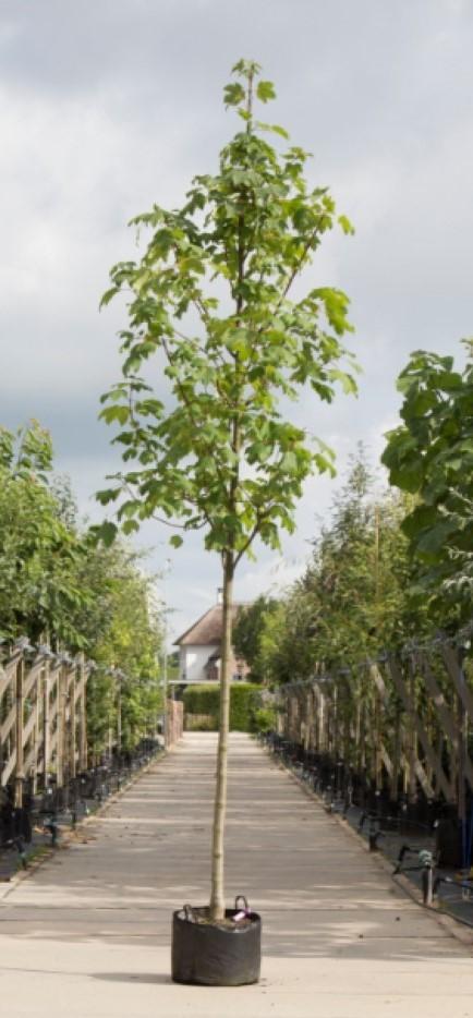 Gewone esdoorn Acer pseudoplatanus h 450 cm st. omtrek 16 cm