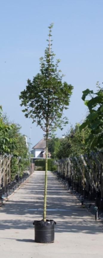 Spaanse aak Acer campestre Huibers Elegant h 350 cm st. omtrek 12 cm