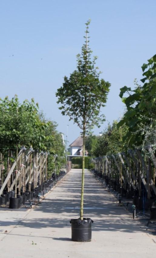 Spaanse aak Acer campestre Huibers Elegant h 550 cm st. omtrek 19 cm