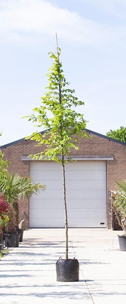 Winterlinde Tilia cor. Greenspire h 550 cm st. omtrek 19 cm