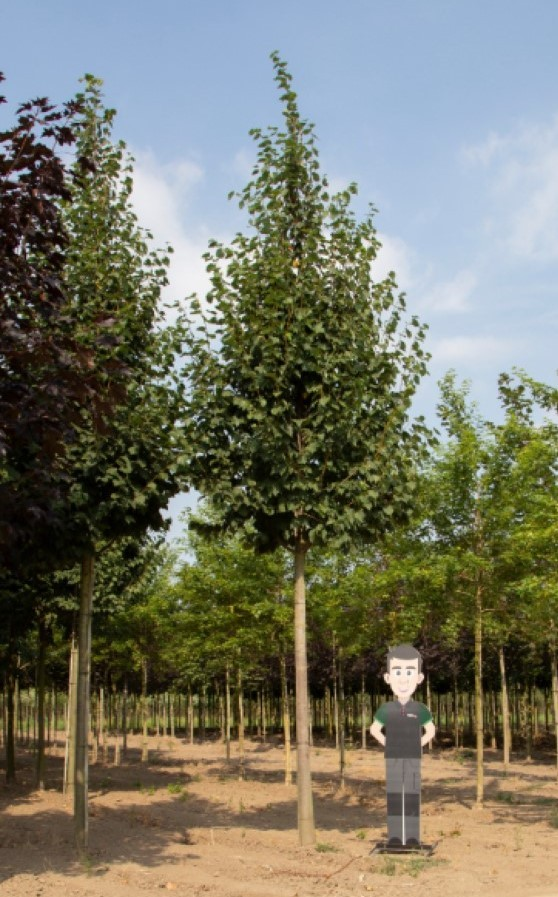 Winterlinde volgroeid Tilia cor. Greenspire h 700 cm st. omtrek 32,5 cm