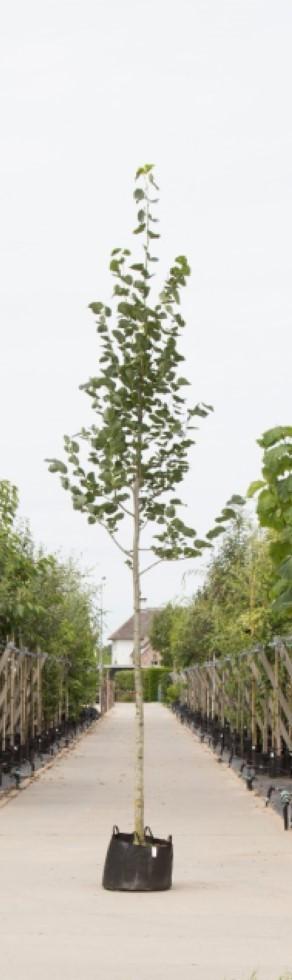 Krimlinde Tilia europea Euchlora h 550 cm st. omtrek 19 cm