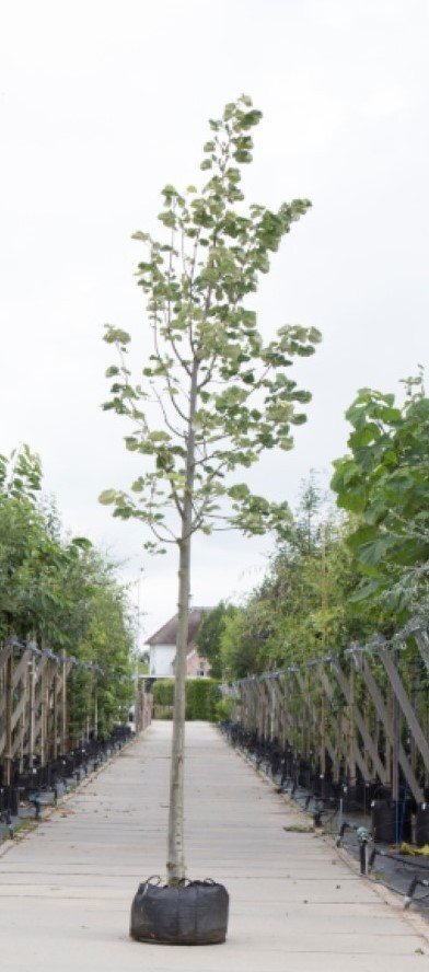 Zilverlinde Tilia tomentosa Brabant h 250 cm st. omtrek 8 cm